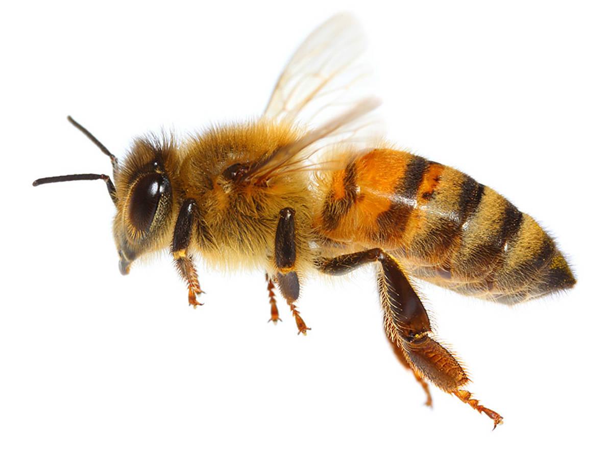 Pszczoły żyjące wPolsce nie są agresywne