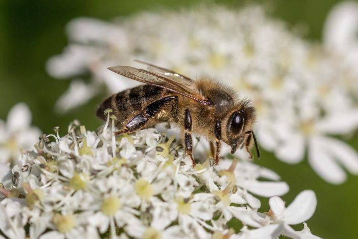 Miód pszczeli to naturalny produkt, wytwarzany znektaru kwiatowego lub spadzi.