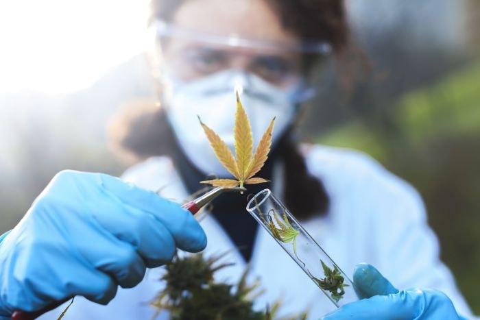 Lecznicze właściwości marihuany są znane już od setek lat
