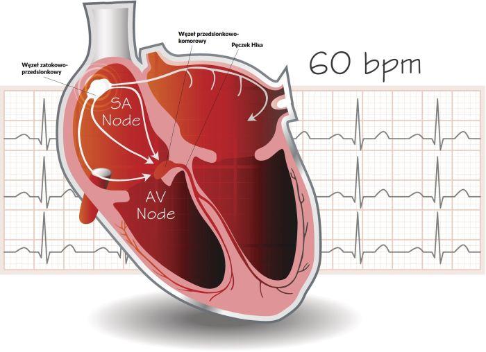 Specjalne komórki serca, zwane rozrusznikowymi, tworzą tzw. układ przewodzący serca obejmujący m.in.: węzeł zatokowo-przedsionkowy, węzeł przedsionkowo-komorowy ipęczek Hisa
